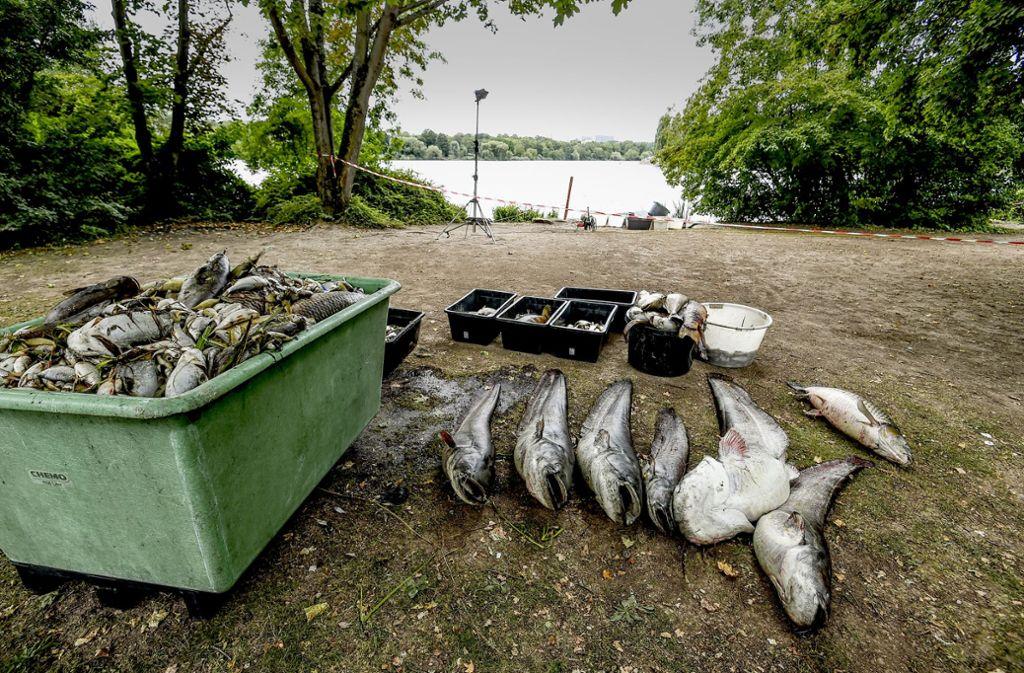 Tote Fische aus dem Max-Eyth-See Foto: Lichtgut/Leif Piechowski