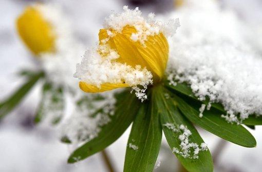Frühlingsblüte, schneebedeckt – noch lässt sich der Winter nicht vertreiben. Foto: dpa