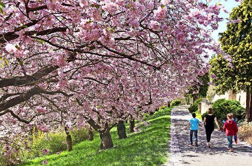 Die Kirschblüte am Pomeranzengarten fällt kleiner aus