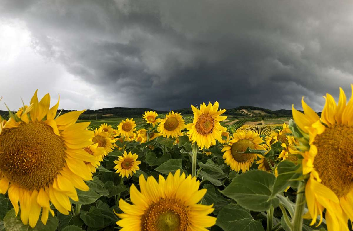 Da braut sich was zusammen: Dunkle Wolken über einem Sonnenblumenfeld. Foto: dpa/Hans Klaus Techt