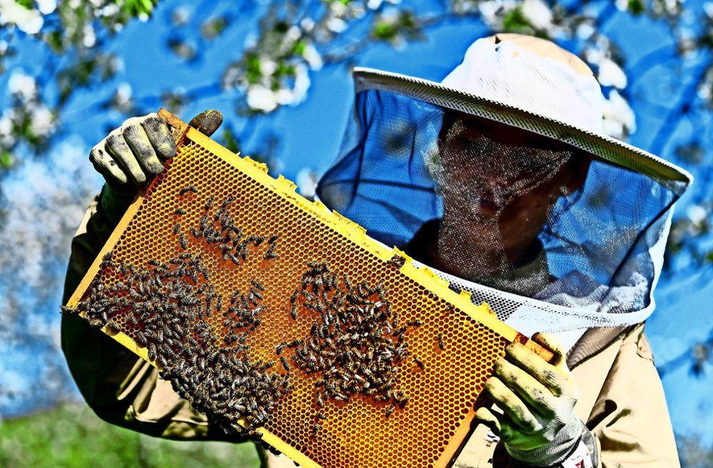 Eine Imkerin kontrolliert  eine Bienenwabe. Auf  Fellbachs Friedhöfen wird es dieses Bild nicht geben. Foto: dpa/Patrick Seeger