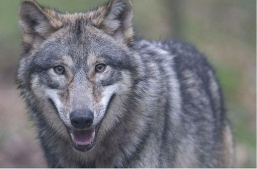 Deutlich mehr Wolfsrudel in Deutschland