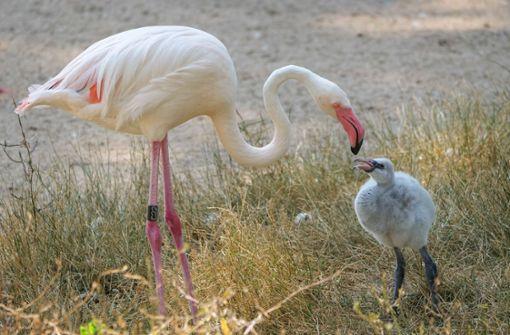 Sechs Küken halten den  Flamingo-Kindergarten auf Trab