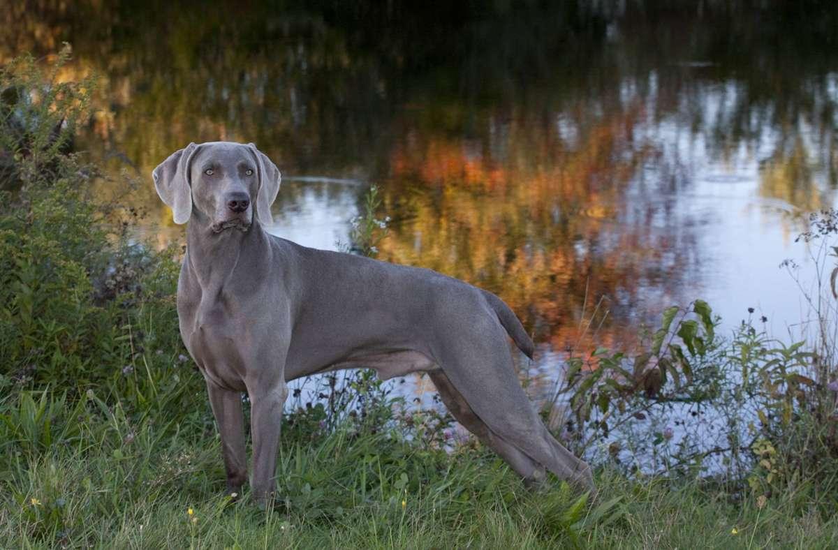 Bei dem Tier handelt es sich um einen Jagdhund der Rasse Weimaraner (Symbolbild). Foto: imago images