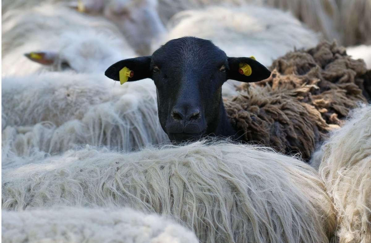 Sechs Schafe kamen bei dem Unfall im Kreis Ludwigsburg ums Leben (Symbolbild). Foto: dpa/Henning Kaiser