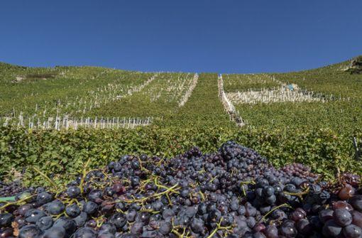 Kleinste Weinernte in Württemberg seit 30 Jahren