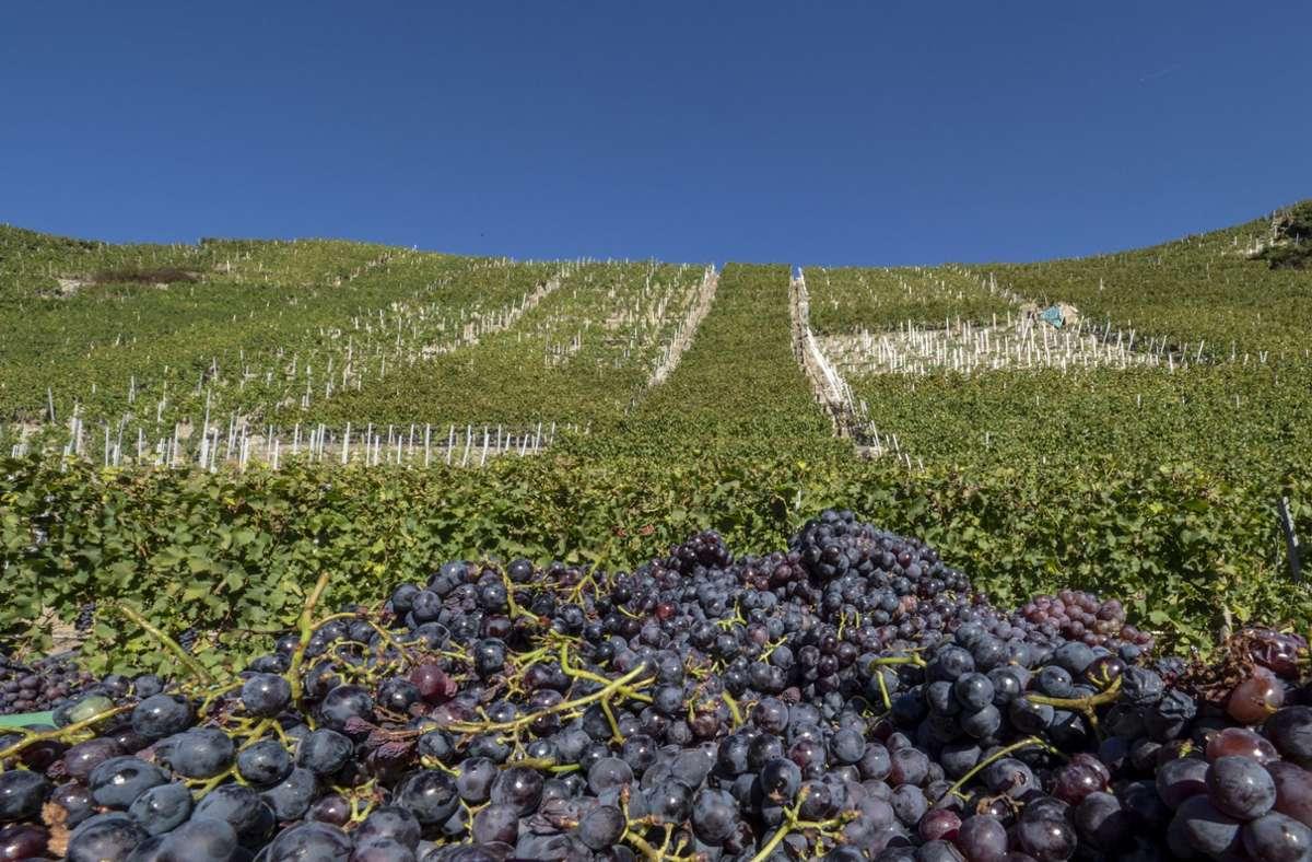 Die Erntemenge der 36 Weingärtnergenossenschaften liegt  bei weniger als 50 Millionen Litern. Foto: factum/Weise/Andreas Weise/factum