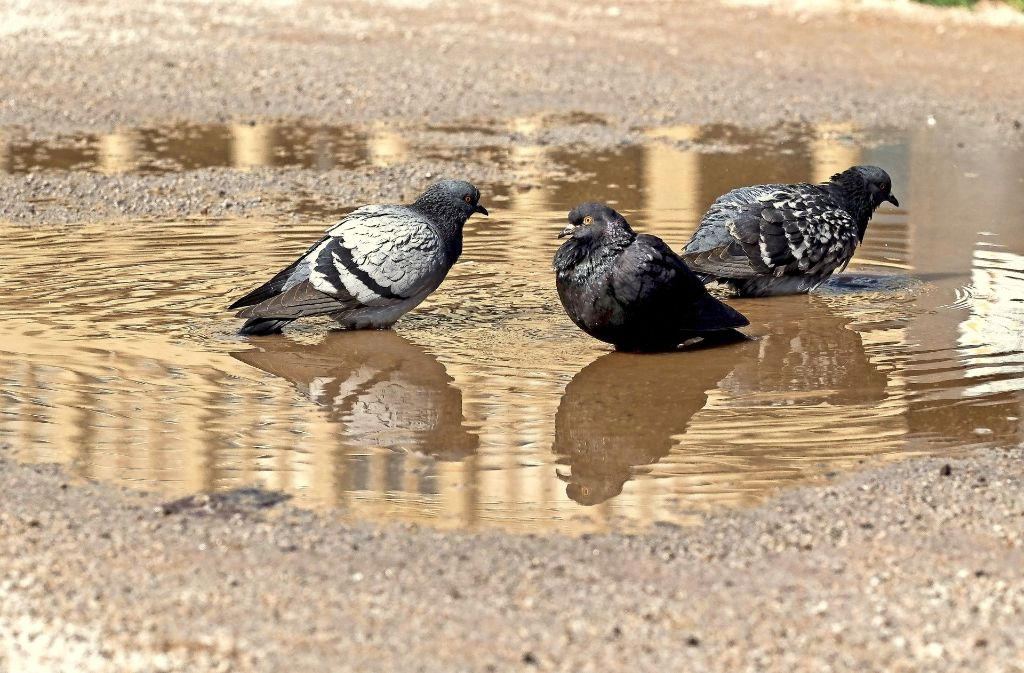 Tauben finden ihre Lebensräume auch in der Innenstadt Foto: Lichtgut/Max Kovalenko