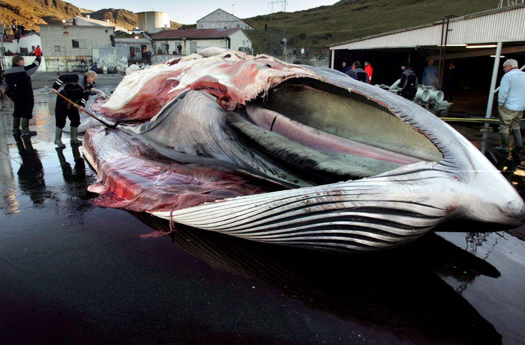 Das Bild zeigt einen gefangenen Finnwal auf Island (Archiv-Bild). Foto: MORGUNBLADID