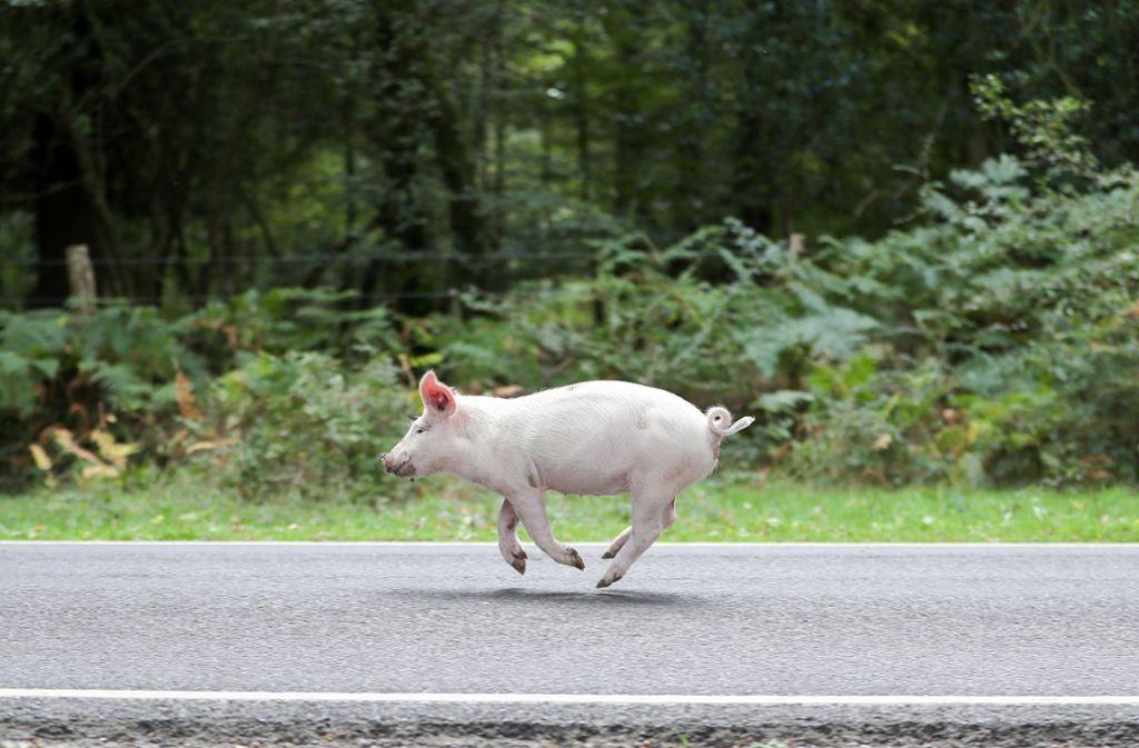 Hausschwein auf Wanderschaft Foto: dpa