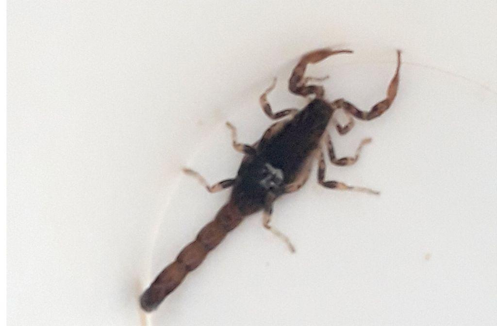 Skorpione sind in wärmeren Gegenden beheimatet. (Symbolbild) Foto: dpa