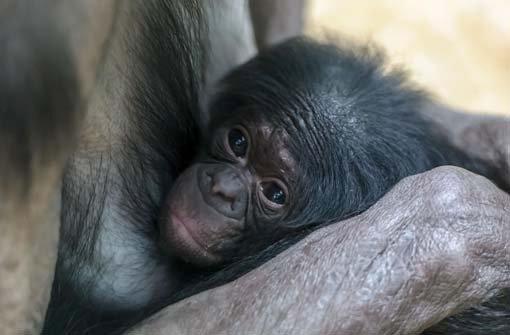 Die Bonobos leben sich im neuen Menschenaffenhaus ein. Foto: Wilhelma/H. Vollmer