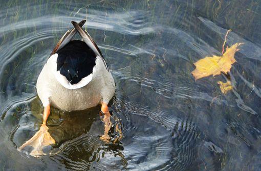 Tierquäler spießt Ente auf