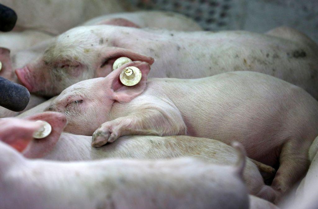 1600 Schweine sind bei dem Züchter aus Merklingen verendet. Foto: dpa/Bernd Wüstneck