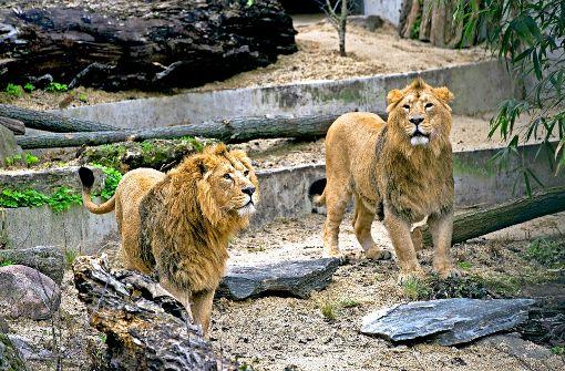 Shapur und Kajal erkunden das Außengehege