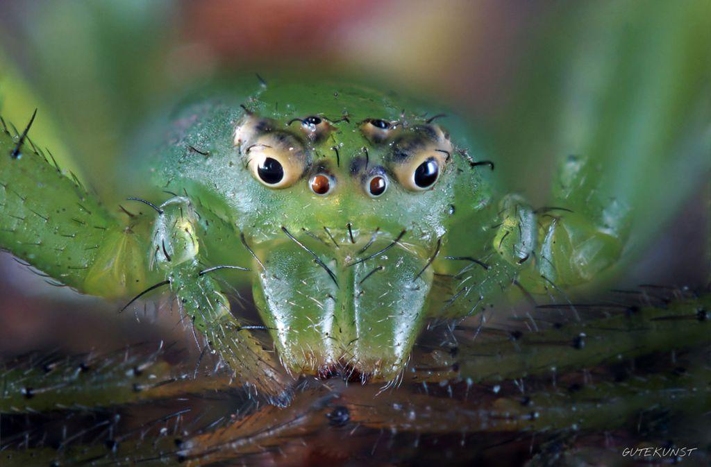 Die grüne Krabbenspinne ist im Original nur vier Millimeter groß. Foto: Valentin Gutekunst