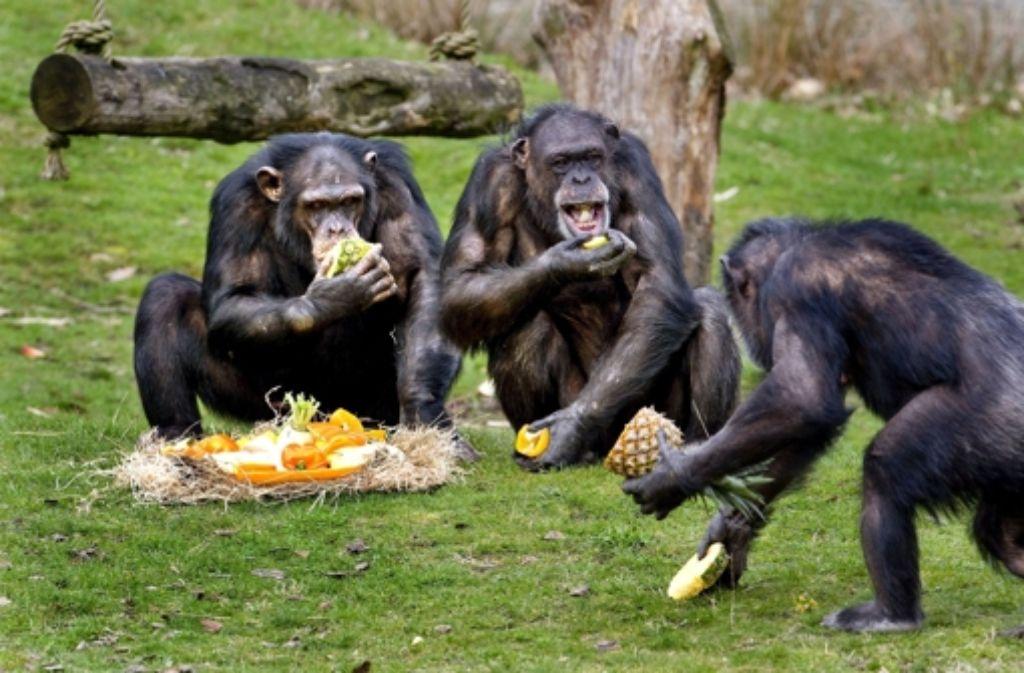 Wissenschaftler streiten darüber, ob Schimpansen ihr Futter fair teilen können. Foto: dpa