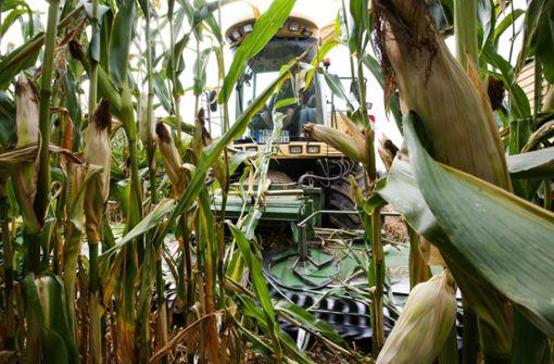 Bauern müssen Mais noternten