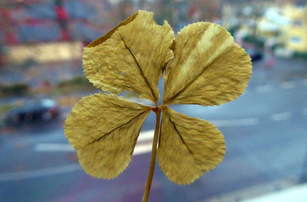 Ein vierblättriges Kleeblatt als Glücksbringer: Mit Talismanen aller Art versuchen die Menschen seit Tausenden von Jahren, ihrem Glück auf die Sprünge zu helfen. Foto: dpa