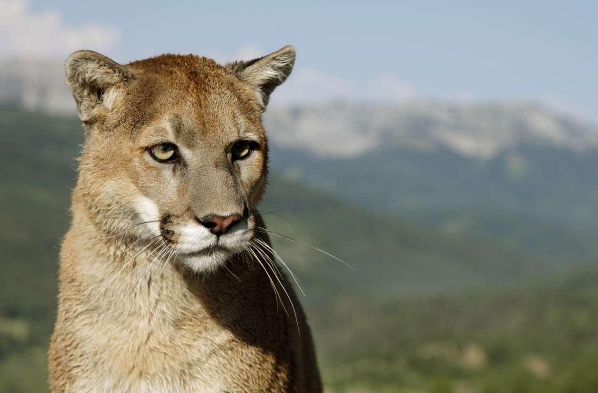 Der Puma könnte ebenfalls gefährlich sein, hatte die Direktorin des Zoos im Fernsehen gewarnt. (Symbolbild) Foto: dpa/Ronald Wittek