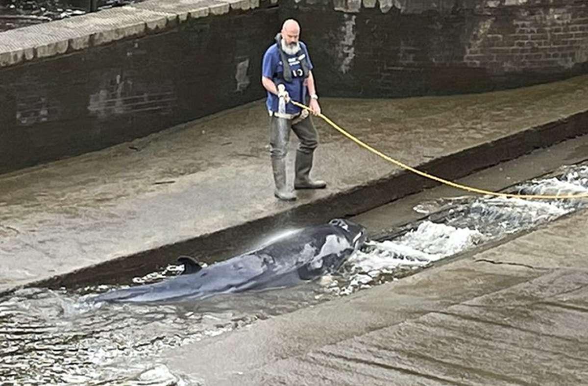 Zwergwale kommen meist im Nordatlantik vor. Einen verschlug es in die  Londoner Themse. Foto: dpa