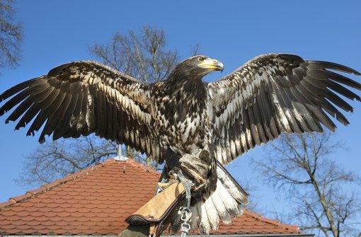 Dakota im Anflug. Seinen  hellen Kopf bekommt das Weißkopfseeadler-Mädchen erst mit zunehmendem Alter. Foto: Horst Rudel