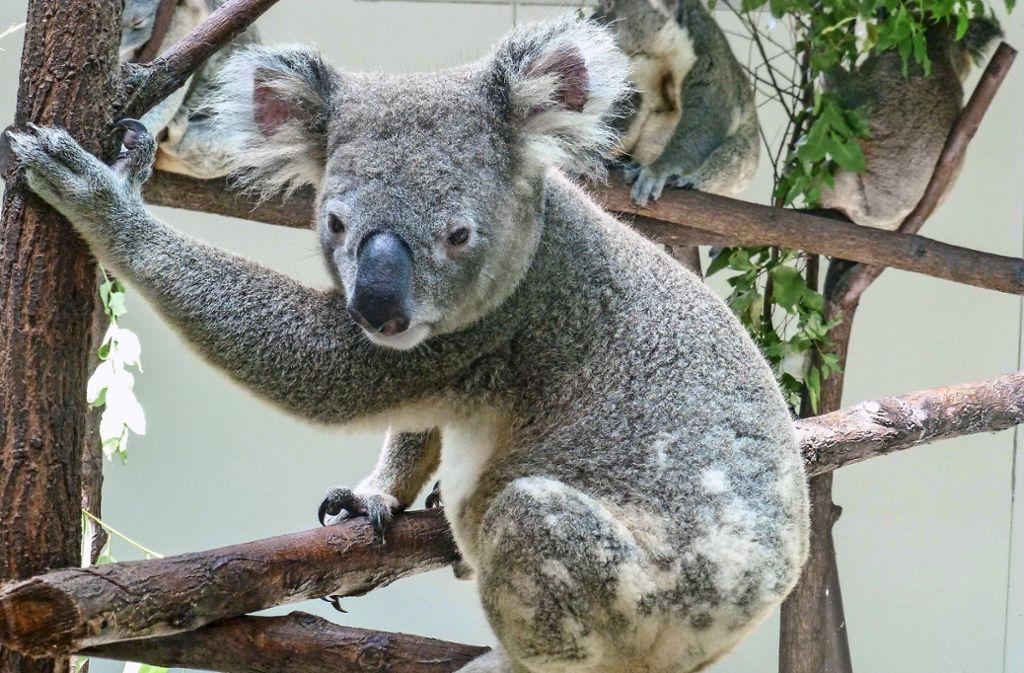 Ein Queensland-Koala aus der Zuchtgruppe in Dreamworld (Australien). Aus dieser Gruppe wird die Wilhelma in Stuttgart vier Tiere erhalten. Foto: Wilhelma Stuttgart/Thomas Kölpin