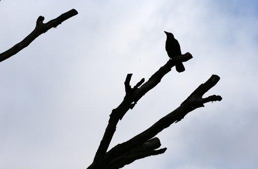 Saatkrähen verärgern die Anwohner