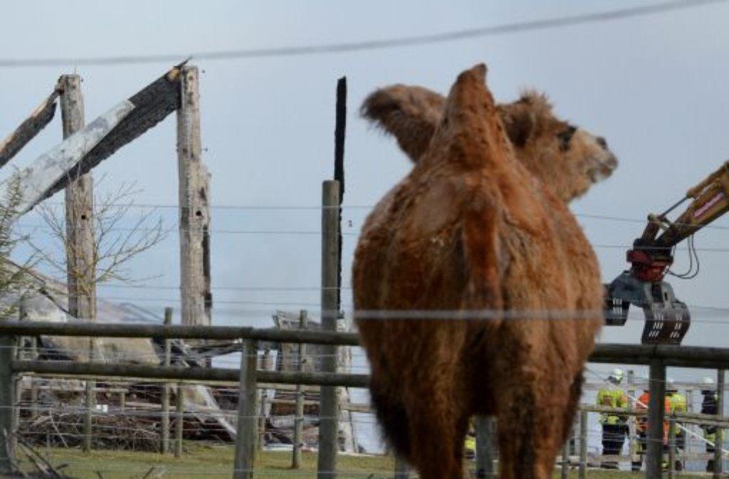 Bei dem Brand auf der Kamelfarm Ende Januar hatten nur ein paar Tiere überlebt. Nach Schätzungen entstand zudem ein Schaden zwischen einer und zwei Millionen Euro. Foto: dpa