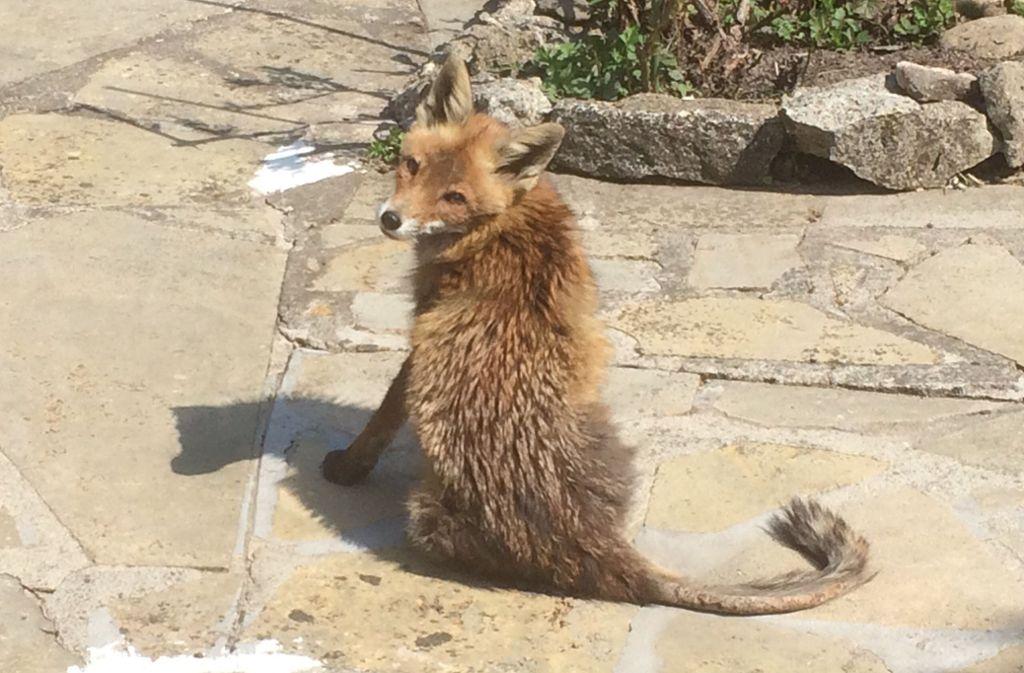 Der kahle Schwanz zeigt es: Der Fuchs auf der Terrasse leidet an Fuchsräude. Foto: Privat