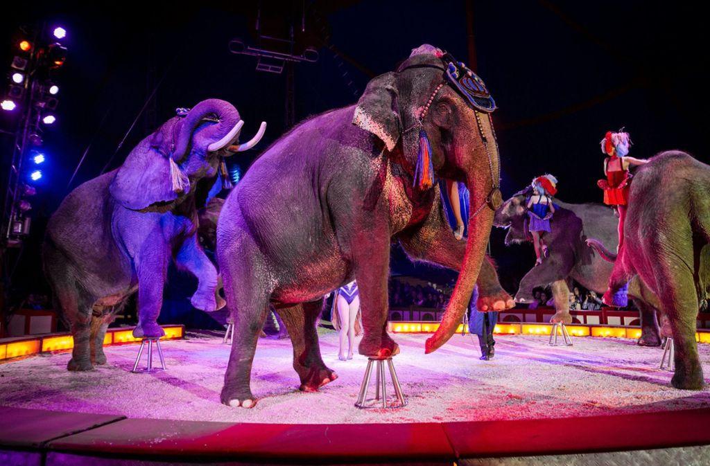 Umstritten: Wildtiere im Zirkus – hier ein Auftritt von Elefanten  in Stuttgart Foto: dpa