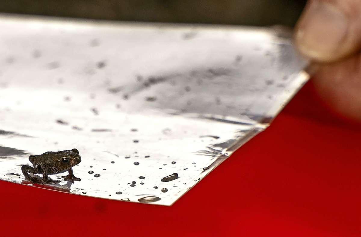 Kaum größer als ein Fingernagel ist der Amphibien-Nachwuchs, der zwischen Perouse und Flacht über die Straße hüpfen will. Foto: Jürgen Bach