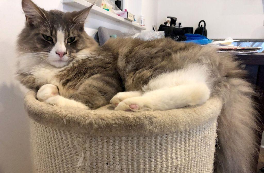 Der zwei Wochen lang eingemauerte Kater Jimmy liegt nach seiner Rettung  in seinem Körbchen. Die Maine-Coon-Katze war versehentlich von Bauarbeitern in einem Hohlraum unter der Fertiggarage eines Neubaus einbetoniert worden. Foto: