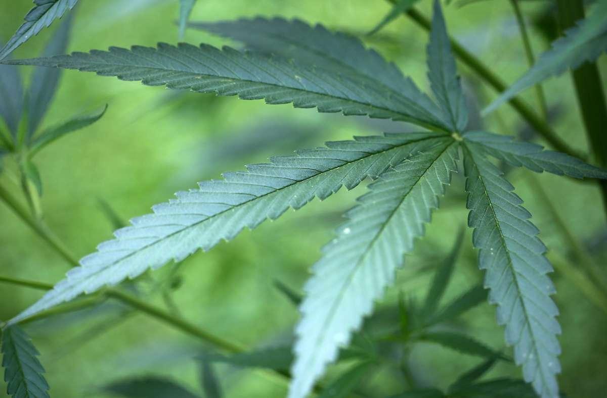 Hanf-Pflanzen (Cannabis) werden zur Herstellung von Drogen verwendet. (Archivbild) Foto: dpa/Oliver Berg