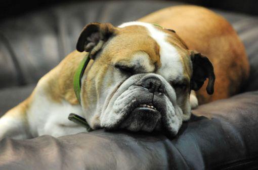Rasierklingen im Körper – Bulldogge eingeschläfert
