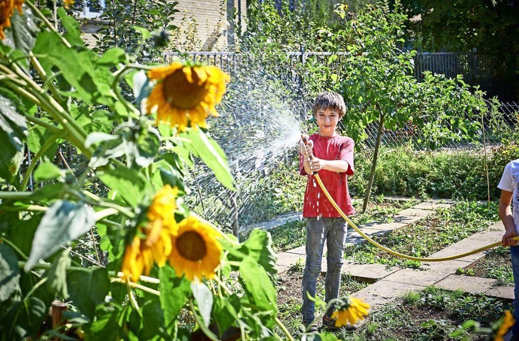 In manchen Gärten werden Sonnenblumen gegossen. Foto: Peter Hartung Foto: