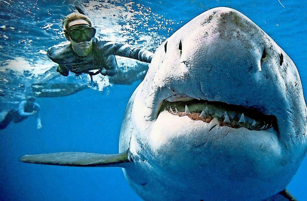 Das rund sechs Meter große Hai-Weibchen tauchte plötzlich auf, als andere Haie vor der Hawaii-Insel Oahu das Kadaver eines Pottwals verspeisten Foto: AFP/oneoceandiving.comoneoceandiving.com