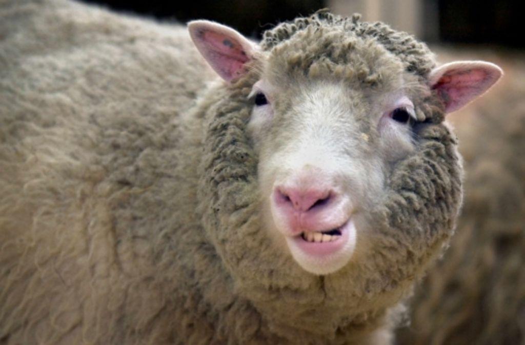 Dolly – hier ein Jahr vor ihrem Tod – war einzigartig, gerade weil sie es nicht war. Fotos weiterer geklonter Tiere sehen Sie in der folgenden Fotostrecke. Foto: dpa