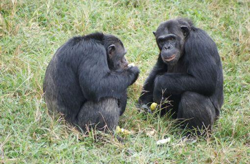 """Schimpansen nutzen ganzen """"Werkzeugkoffer"""""""