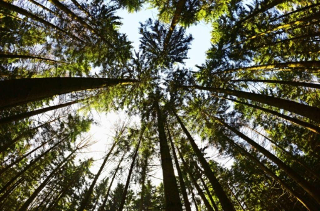 Die  Hitze setzt der Fichte zu. Im Jahr 2050 wird die heutige    Hauptbaumart im Südwesten nur noch in den Hochlagen zu finden sein. Foto: dpa