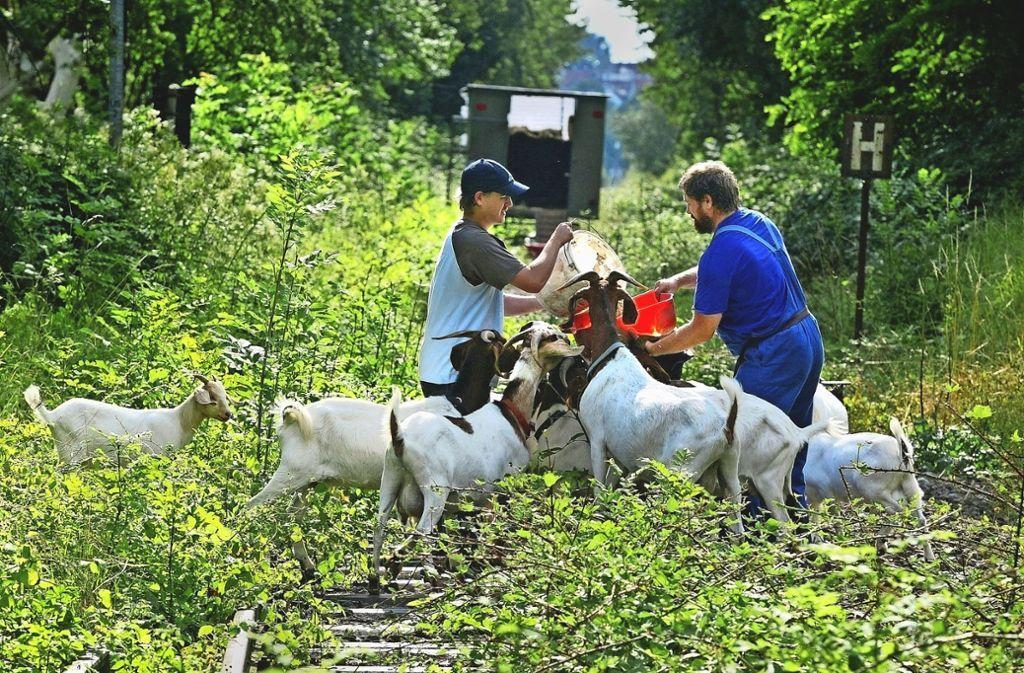Freiwillige haben die Bahntrasse in der Vergangenheit immer wieder von Gestrüpp befreit, zum Teil haben sie dazu – wie hier bei Eschenbach – die Gefräßigkeit von Ziegen genutzt. Foto: Horst Rudel/Archiv