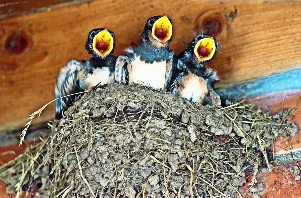 Die drei kleinen Piepmätze haben es gut erwischt: Sie thronen auf einem typischen Schwalbennest, das ihre Eltern aus unzähligen  Lehmkügelchen und Stroh gebaut haben. Foto: dpa