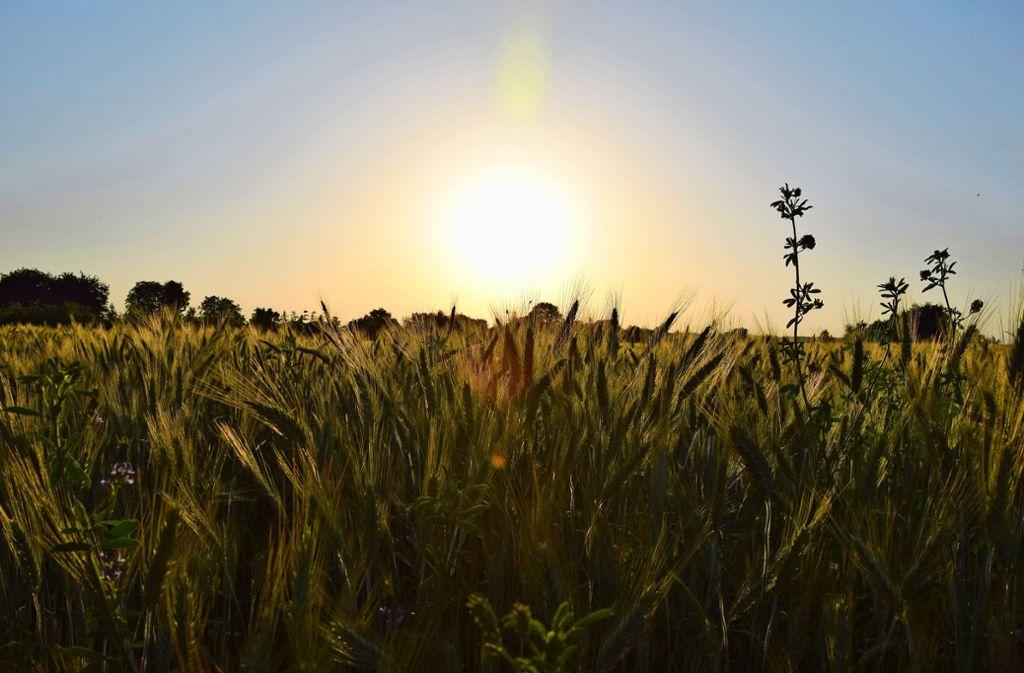 Dies ist weder Weizen noch Roggen. Es nennt sich Triticale und ist eine Kreuzung aus den genannten beiden Getreidesorten. Foto: Alexandra Kratz