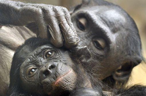 Bonobo-Mutter trägt totes Jungtier seit Tagen bei sich