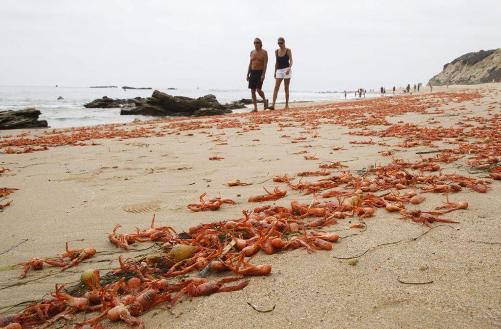 Tote Tuna Krabben liegen am Strand von Laguna Beach in den USA. Die Krabben sind aufgrund einer warmen Strömung vom Kurs abgekommen und zu nah an die Küste geschwappt worden. Das Wetterphänomen El Niño wird nach Einschätzung von Forschern aus Deutschland und Israel wahrscheinlich Ende 2020 in der Pazifikregion wieder auftreten. Foto: Eugene Garcia/epa/dpa