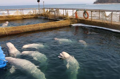 Letzte Belugas und Schwertwale freigelassen