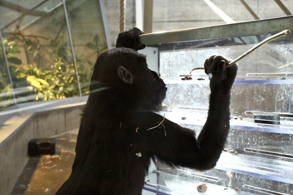 Stuttgarts Affen gehts gut. In ihrem neuen Haus haben sie 14 mal soviel Platz wie bisher. Auch dürfen sie klettern, was das Zeug hält. Sogar ein Kino gibt es - wenn sie erst den Knopf gefunden haben.  Foto: Benjamin Beytekin