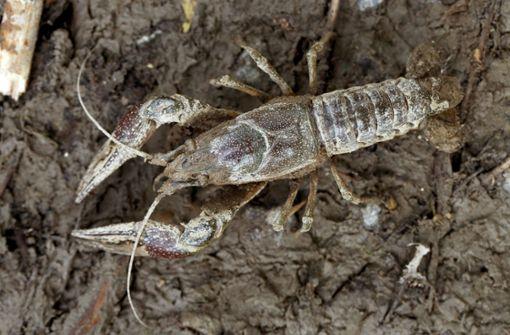 Gefräßiger Kalikokrebs bedroht Arten und Gewässer