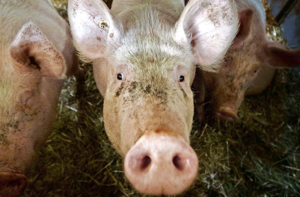 Für seine Schweine hat Bodemer eine Art Wohnung eingerichtet. Foto: Gottfried Stoppel