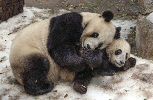 Zoo verliert seine beliebten Panda-Bären